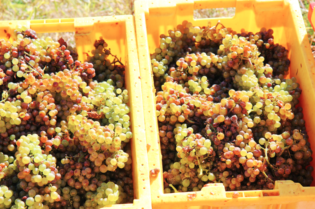 Grapes - Riesling - Harvest
