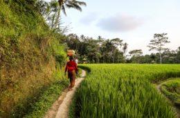 Ubud Rice Terrace